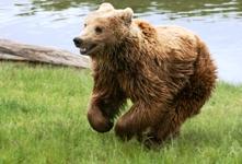 Καφέ Αρκούδα