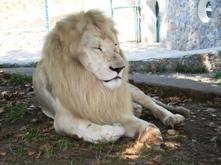 Λευκοπαθές λιοντάρι