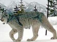 Καναδικός Λύγκας