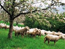 Πρόβατα ξυπνάτε