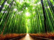 Δάσος των Μπαμπού
